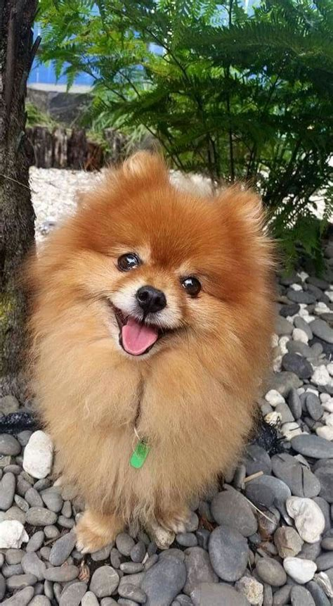 where does the pomeranian come from 17 best ideas about pomeranians on pomeranian pomeranian puppy and