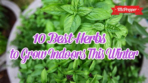 best herbs to grow indoors 10 best herbs to grow indoors this winter msprepper
