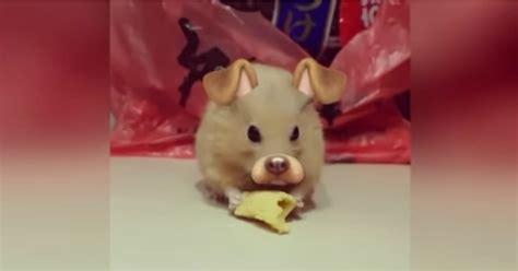 snapchat filters   hamster popsugar pets