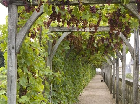 Garden Arch For Grapes 17 Best Ideas About Grape Arbor On Garden