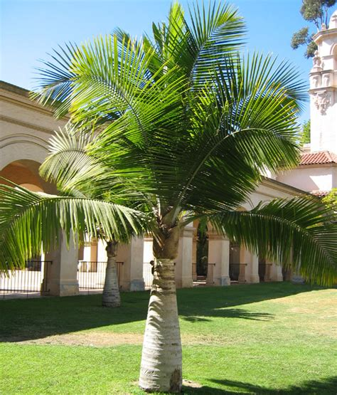 Decorate Your Home Online by Cold Hardy Plants Majestic Palm Ravenea Rivularis