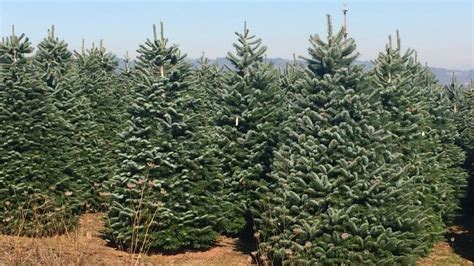 christmas tree property in oregon shortage of trees is years in the kval