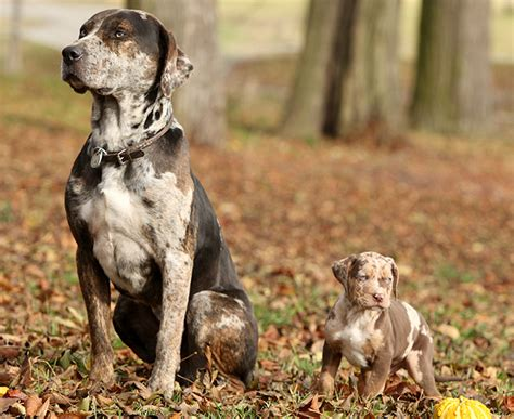 catahoula cur catahoula cur catahoula leopard facts pictures