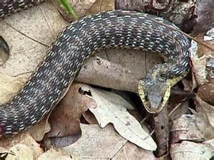 Garter Snake Upstate Ny Hibians And Reptiles Of Upstate New York