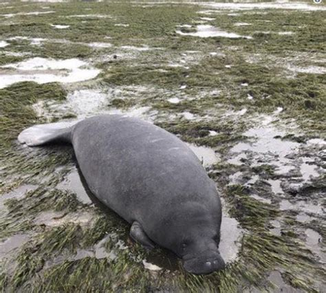 happy ending for manatees after irma sucks water away from