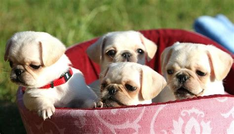 baby white pug best 25 white pug ideas on pugs baby black pug and pug puppies