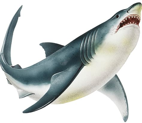 baby shark png sharks fun facts and habitats squizzes