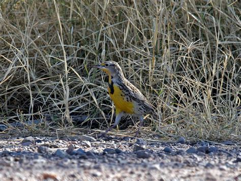 img 7011 western meadowlark jpg photo dick dionne photos