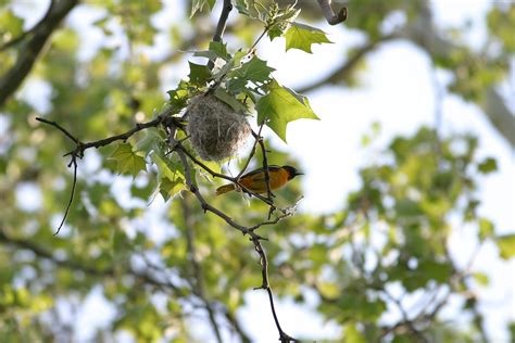 orioles bird nest www pixshark com images galleries