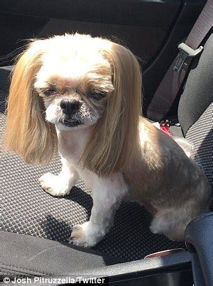 bald shih tzu ny owner picks up his pooch from the groomer to find she has been daily