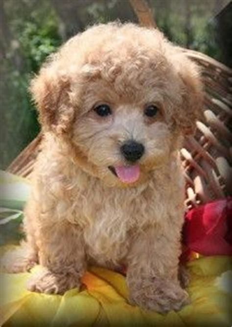 teacup puppies for sale in alabama alabama puppys and maltipoo puppies for sale on