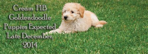 nc golden retriever best golden retriever breeders nc breeds picture