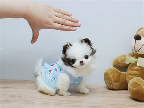 teacup pomeranian puppies for adoption micro mini teacup pomeranian puppies for adoption