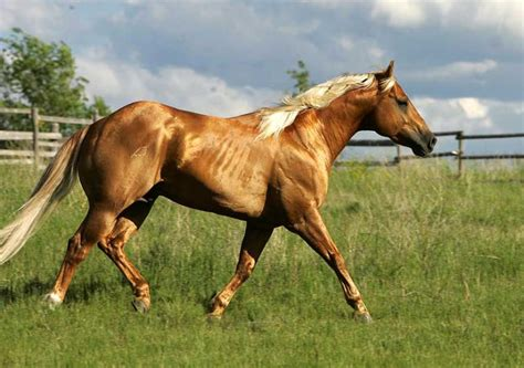 golden palomino horses www pixshark images galleries with a bite