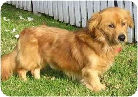 what does a golden retriever look like 25 b 228 sta golden retriever mix id 233 erna p 229