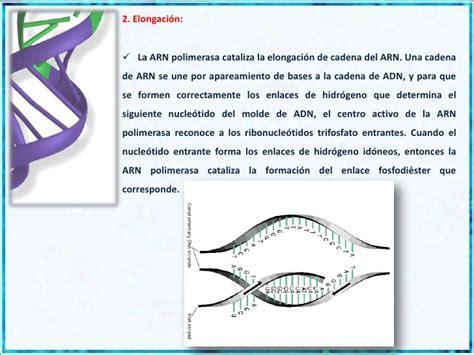 Rna 02 Tunik Original Rannalia 3 4 transcripci 243 n y rna polimerasas