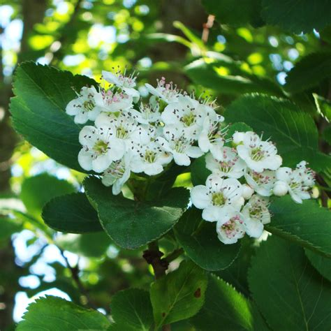 hawthorn tree essence flower essences flower remedies