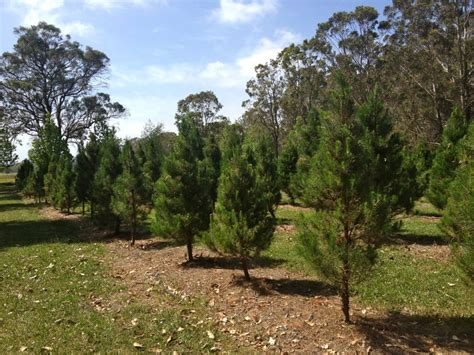 farm fresh christmas trees at amazement sydney