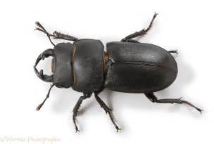 Basement House lesser stag beetle photo wp26634