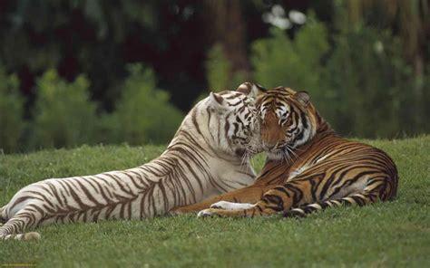 animal bengal tiger animal zoo bengal tiger bengal tiger facts bengal