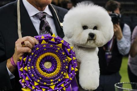 Best In Show At Square Garden by Bichon Frise Bows As Westminster Kennel Club S Best In