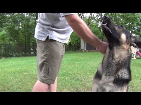 how to your rottweiler to attack on command rottweiler growling and barking on command funnycat tv