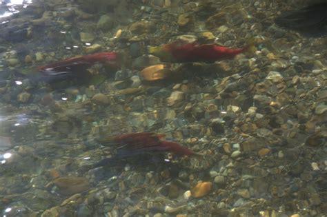Of Roehton Mba by Volunteer Cedar River Salmon Journey Renton Wa