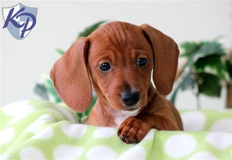 mini doxie puppies for sale miniature dachshund puppies dachshund miniature puppies for sale in pa