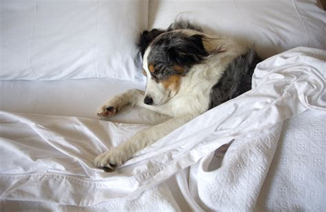 dog on bed how to establish a sleeping routine for your dog
