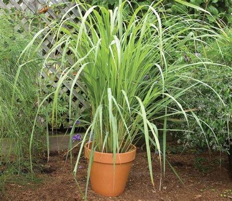 Bibit Serai cara menanam serai yang sederhana dan mudah tanaman hias