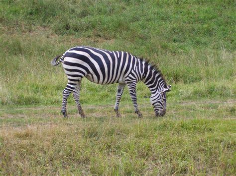 google images zebra plains zebra