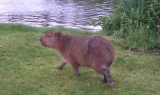 worlds largest rodent spotted running  river bank