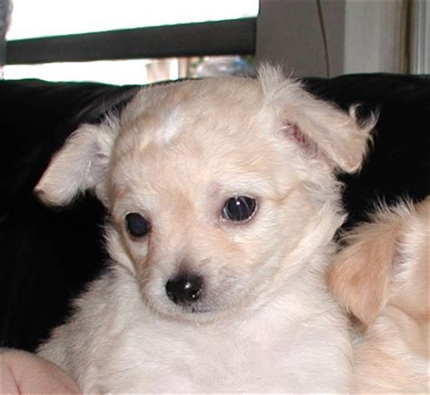 free puppies st louis gorgeouse and outstanding chihuahua puppies free for adoption st louis dogs for