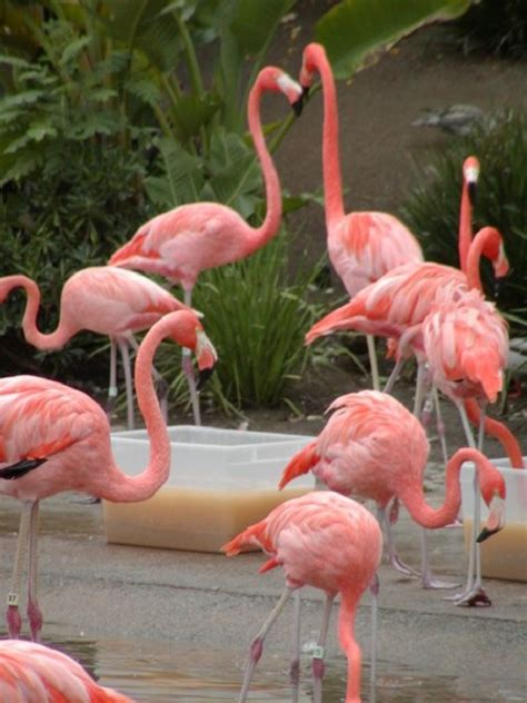how do flamingos get their color where are colors