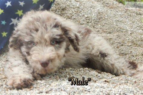 aussiedoodle puppies for sale near me aussiedoodle puppy for sale near southeast missouri missouri 8397e1bc 4791