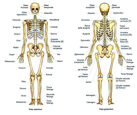 mappa organi interni corpo umano l igiene dell apparato scheletrico anatomia