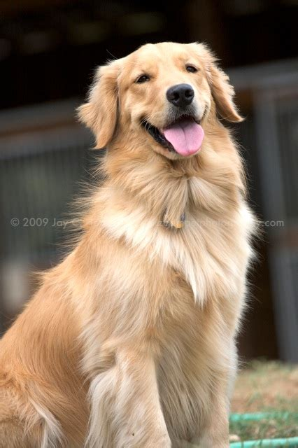 golden retriever puppies baton golden retriever puppies from yellow