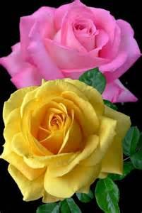frases e flores flores e frases rosas