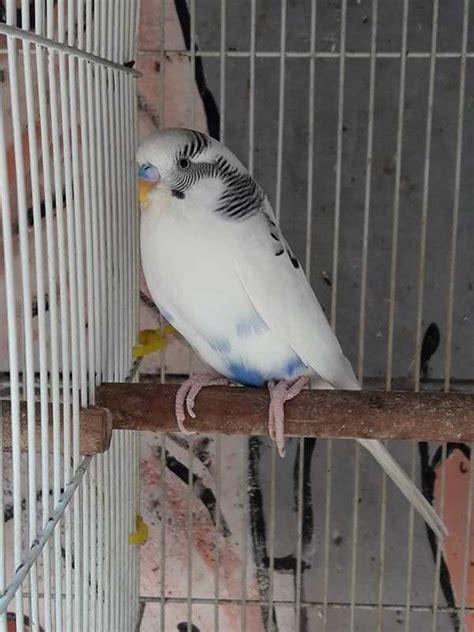 Tempat Makanan Burung Parkit binatang peliharaan makanan burung parkit terbaik agar