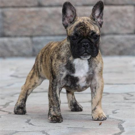 brindle bulldog puppies the 25 best brindle bulldog ideas on frenchies for sale