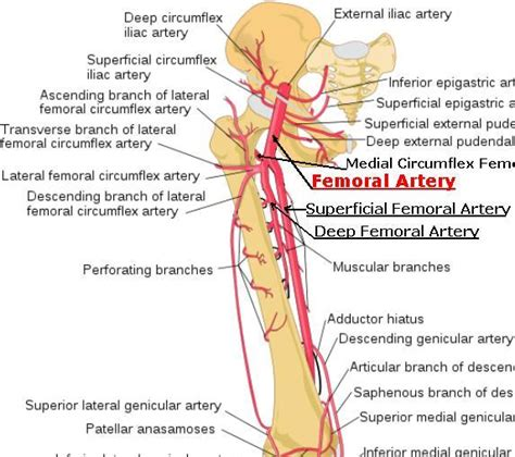 diagram of femoral artery superficial femoral artery stepwards