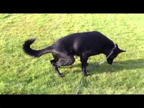 pano in dogs panosteitis in the german shepherd panosteitis pano