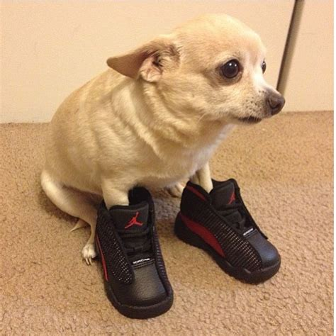 jordans dogs air xiii 25 pictures of dogs wearing better sneakers than you complex