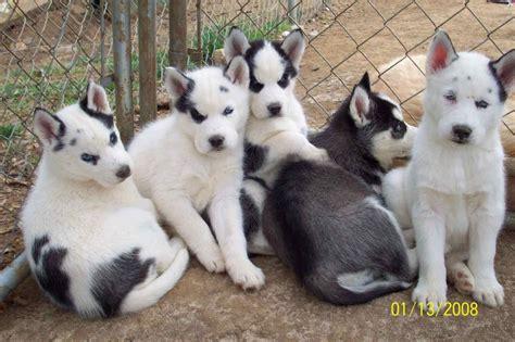 husky coat colors coat colors of the siberian husky