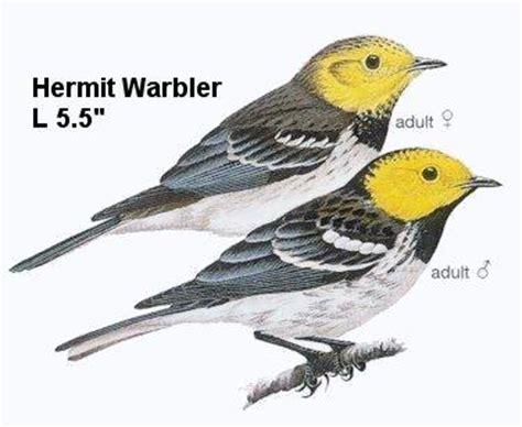 oregon birds    hermit warbler