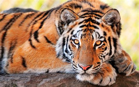 ojos de los tigres im 225 genes y fotos