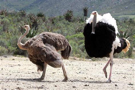 Tas Jansport Black Animal Planet veritas w mel fabregas animal how ostriches do it