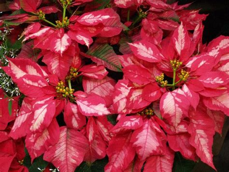 poinsettias for cheerful holiday color east texas gardening