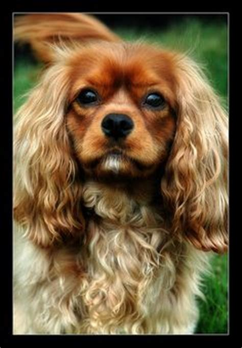 cavalier king charles spaniels whats good and bad about em greta black and tan cavalier king charles spaniel black