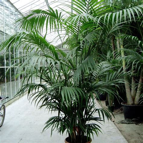 grow magnificent indoor palm trees potting
